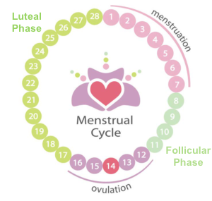 Ovulation Cycle